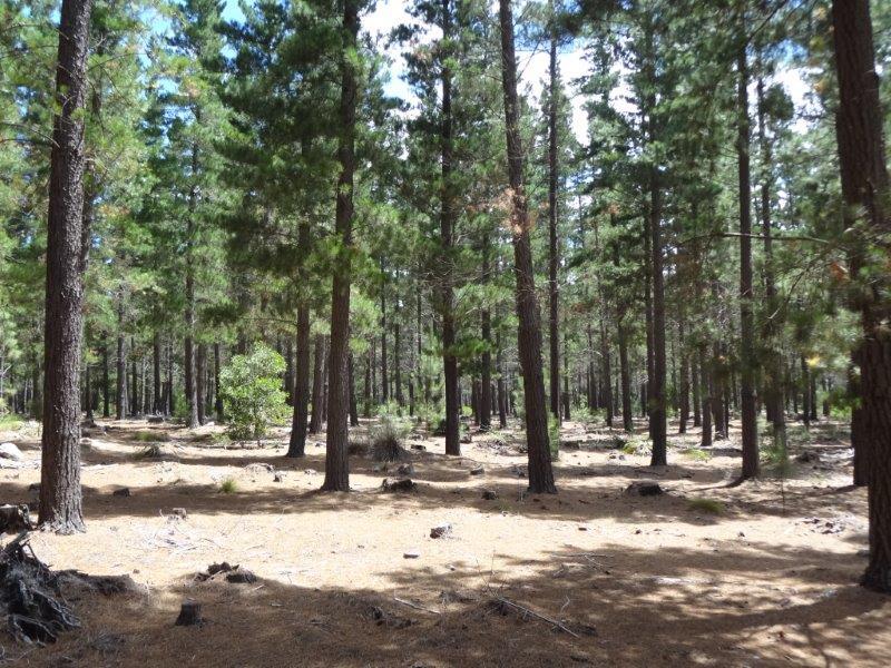 cape pine grabouw bird forests (5)